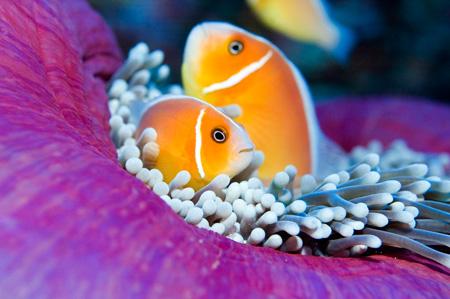 Palau Clownfish