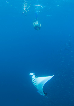Pohnpei Manta Rays