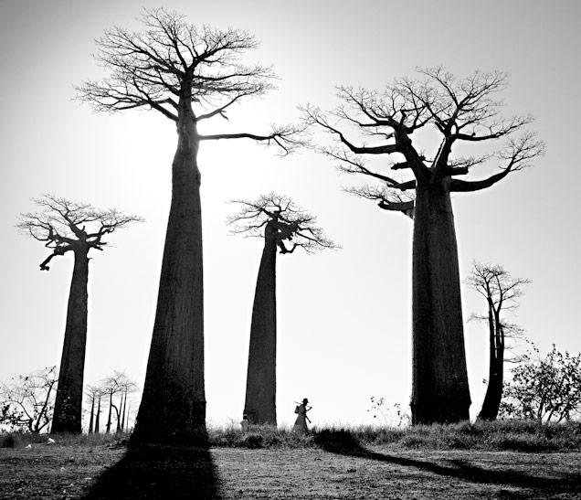 Baobabs, Madagascar, Jody MacDonald