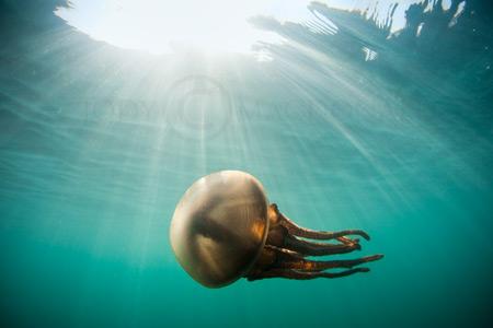 Sumba Jellyfish
